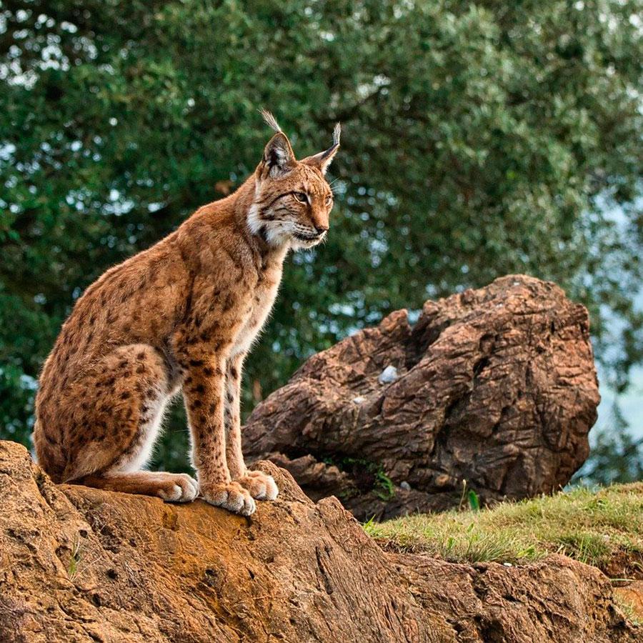Carnívoros amenazados de Doñana